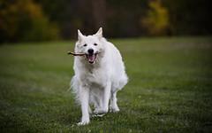 dallas (Paula Cheese) Tags: dallas dog nikon furcanine running 80200 mammal nature grass treets photoshop nik