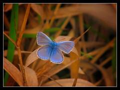 Un fiore all'occhiello (ilfotografodellapausapranzo1) Tags: autumn autunno butterfly farfalle flower amazingnature nature lovesnature ngc