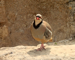 Chukar Partridge - Greece (sedge23) Tags: birds partridges chukarpartridge greece