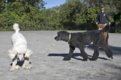 2683 (Jean Arf) Tags: ellison park dogpark rochester ny newyork september autumn fall 2016 poodle dog standardpoodle paul doris jane