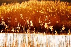 *** (pszcz9) Tags: polska poland przyroda nature natura rzeka river biebrza biebrzaski parknarodowy nationalpark zachdsoca sunset wieczr evening trzcina reed bokeh beautifulearth sony a77