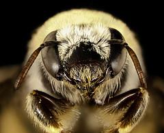 Diadasia rinconis, face, Pima Co., AZ_2016-09-30-17.30 (Sam Droege) Tags: zerenestacker stackshot geologicalsurvey unitedstatesgeologicalsurvey departmentoftheinterior droege biml beeinventoryandmonitoringlaboratory bug bugs canon closeup macro insect patuxentwildliferesearchcenter pwrc usgs dofstacking stacking canonmpe65 taxonomy:binomial=diadasiarinconis bee bees apoidea hymenoptera pollinator nativebee pimacounty arizona donharvey intern fuzzy cactus cacti