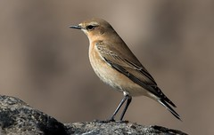 Wheatear (Simon Stobart (back but busy)) Tags: rock sideview northeastengland wheatear ngc