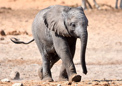 Wait for me! (pstone646) Tags: elephant calf baby nature wildlife fauna closeup running namibia africa pachiderm young