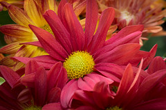 Mums 3693 (jim fleckenstein) Tags: canon eos 70d 50mm mums chrysanthemum nature flora autumn dof depthoffield