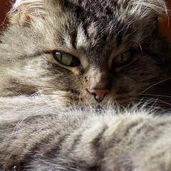 Cat (noni.alaniz) Tags: cat gato portrait animal zoo naturaleza nature kitten