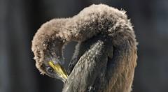 THE JOB IN HAND By Angela Wilson (angelawilson2222) Tags: juvenile shag preening seabird dof feathers light nature wild wildlife northumberland farne islands nt national trust nikon angela wilson