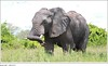 Figure 7: Elephant in Ruaha National Park, Tanzania (U.S. GAO) Tags: gao governmentaccountabilityoffice usgovernmentaccountabilityoffice usgao unitedstatesgovernmentaccountabilityoffice government congress watchdog oversight governmentwatchdog gao16717 combatingwildlifetrafficking apa 2015annualprogressassessment cites conventiononinternationaltradeinendangeredspeciesofwildfaunaandflora cwt dhs departmentofhomelandsecurity doi departmentoftheinterior doj departmentofjustice eent endangeredecosystemofnortherntanzania fto foreignterroristorganization fws usfishandwildlifeservice nationalstrategyforcombatingwildlifetraffickingimplementationplan inl bureauofinternationalnarcoticsandlawenforcementaffairs interpol internationalcriminalpoliceorganization itap internationaltechnicalassistanceprogram ngo nongovernmentalorganization nrt northernrangelandstrust odni officeofthedirectorofnationalintelligence smart spatialmonitoringandreportingtool state departmentofstate nationalstrategyforcombatingwildlifetrafficking task force presidentialtaskforceonwildlifetrafficking treasury departmentofthetreasury unodc unitednationsofficeondrugsandcrime usaid usagencyforinternationaldevelopment elephant ruahanationalpark tanzania
