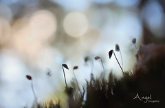 in a small world  - EXPLORED (Wilma van Oorschot) Tags: wilmavanoorschot angelphotography olumpusomdem5 olympusomde5 olympus macro bokeh leicadgmacroelmarit45f28 moss nature outdoor forrest