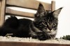 Maine coon kitten on the chair (romeosilverpersian) Tags: mainecoon mainecooncat mainecoonkitten kitten kittens cats cat catbreed catphotos animalidomestici animale pet pets tabby browntabbycats