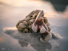 Stranded Coral (Laith Stevens Photography) Tags: coral pacific islands beach summer morning macro sunrise sand sea water reflections smooth clear still olympus omd em1 1240mm f28 pro ngc special relaxing all cool socaldreaming art life stilllife naturallight goldenhour