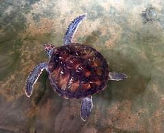 IMG_0179 (H Sinica) Tags: srilanka  ceylon  kosgoda turtle farm hatchery