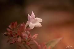 Tiny (Bren Ryan (RyanPhotography)) Tags: floral flowers gardens greatcompgarden kent landscape photochallenge sevenoaks