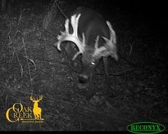Oak Creek Main Ranch Trail Cam 2016 (oakcreekhunt) Tags: whitetail whitetaildeer wwwoakcreekwhitetailranchcom worldrecordwhitetail weishuhn keithwarren sci sportear dsc missouri besttrophyhunting besttrophywhitetailhunts monsterbucks huntersspecialties