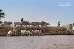 Omo river, the Dassanech's bank - Rivière Omo, la rive des Dassanech (Patricia Ondina) Tags: dassanech dasanech omoriver rivièreomo thiopie etiopia ethiopia äthiopien africa african eastafrica afriquedelest valléedelomo omovalley omo africanrift riftafricain peuplesdelomo omopeople ethnologie ethnology ethnic ethnie tribu tribe tribal pastoralist éleveur pasteur vaches cows troupeaux photopatriciaondina