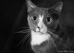 Big Eyes (DonMiller_ToGo) Tags: blackandwhitephotography whiskers eyes blackwhite cat d5500 bw caturday bwphotography