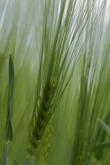 Bza / Wheat (bencze82) Tags: voigtlnder apolanthar 90mm f35 slii canon eos 700d bza wheat