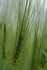Búza / Wheat (bencze82) Tags: voigtländer apolanthar 90mm f35 slii canon eos 700d búza wheat