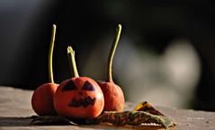 Halloween (StRo92) Tags: halloween now niko rose orange