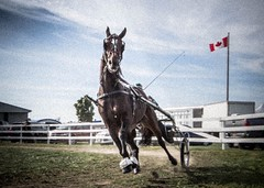 Canadian horsepower! (toddrappitt) Tags: september vegetarian6 animals horses horseandcarriage exhibition greatnorthernexhibition collingwood ontario t4i rebel canon