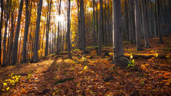 autumn forest (danieldebreczeni) Tags: mtra autumn tamron pentax tree nature leaf forest 1750 k5