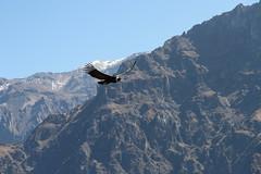 Condor (flavioricci) Tags: condor colca per peru calloma miradorcruzdelcondor caondelcolca caon canyon sudamerica bird birdwatching nature wild wilderness