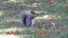 Eastern Grey Squirrel (Baractus) Tags: eastern grey squirrel john oates city central park manhatten new york usa