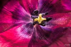 Inside a Tulip (fs999) Tags: 400iso fs999 fschneider aficionados zinzins pentaxist pentaxian pentax k1 pentaxk1 fullframe justpentax flickrlovers ashotadayorso topqualityimage topqualityimageonly artcafe pentaxart corel paintshop paintshoppro x9ultimate paintshopprox9ultimate masterphotos fleur flower blume bloem macrolife macro makro sigmaart1835mmf18dchsm sigma sigma1835 hsm 1835 f18 metzflash52af1digital metz flash metz52af1 with softbox