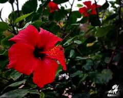 FLOWER (hamzaechchad) Tags: nature fleur flower flowers green now beautiful plante calme extrieur champ bordure photo profondeur