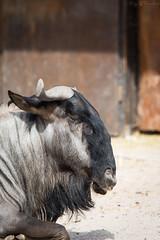 A wildebeest's head (Cloudtail the Snow Leopard) Tags: gnu zoo landau tier animal mammal säugetier südliches streifengnu connochaetes taurinus blaues blue wildebeest common white bearded brindled