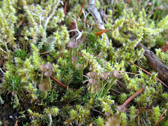 moss and lichen forest (chaerea) Tags: algae bc canada cladonia forest fungi lichen mycology nature woodland