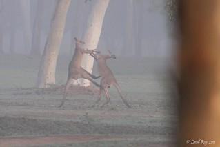 Kangourou géant / Macropus giganteus / Eastern Grey Kangaroo