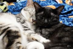Brothers (亞瑟陳) Tags: cat 貓 貓咪 chat neko 可愛 睡姿 睡覺 sleep