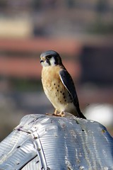 American Kestrel at Eye Level (Patricia Henschen) Tags: university castle westminster colorado overland trail cherokee nationalregisterofhistoricplaces 1892 tower rooftop frontrange american kestrel bird raptor tour westminsterhistorycenter