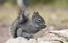Red Squirrel (Tamiasciurus hudsonicus); Santa Fe National Forest , NM,Thompson Ridge [Lou Feltz] (deserttoad) Tags: nature newmexico animal rodent mammal fauna squirrel behavior mountain young