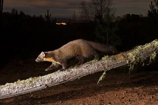 Pine marten (camera trap image)