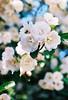 Spring blossoms (Katie Tarpey) Tags: blossom blossoms bee pollinate flower flowers film depthoffield 35mm portra kodakportra400 nikonfm10 nikkor50mm14 hepburnsprings spring victoria