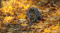 these days are golden (judecat (back with the pride)) Tags: feline cat longhairedgreycat woods fall autumn leaves golden sally