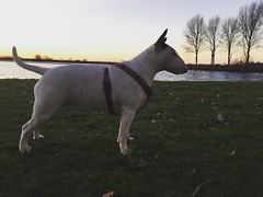 Co ❤️ #cocobigshot  #englishbullterrier #ebt #dailyouderkerk (Patty Peets) Tags: instagramapp square squareformat iphoneography uploaded:by=instagram lark