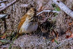Hermit Thrush (backyardzoo) Tags: bird hermit thrush