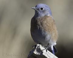 Western Bluebird (Sialia mexicana) (Wandering Sagebrush) Tags: westernbluebirddsc1517 westernbluebird sialiamexicana centraloregon
