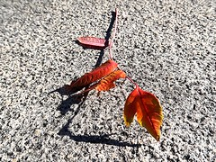 1 in Simplicity (Mertonian) Tags: mertonian autumn simplicity fall robertcowlishaw canon powershot g7x mark ii canonpowershotg7xmarkii branch beauty beautiful transitions wonder ineffable awe concrete cement lookingdown red yellow hanging