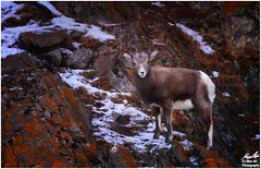 Young Mountain Sheep (Moe Ali Photography) Tags: canon7dmarkii canon100400ii moeali sheep goat rockymountains animal wildlife outdoors mountains telephoto rocks orange sharp snow moss red stare curious moody jasper park