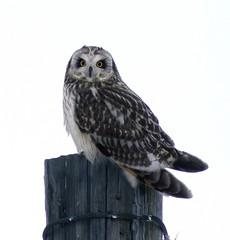 Short-eared Owl (Nick Scobel) Tags: shorteared short eared ear owl asio flammeus michigan