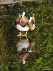 Mandarijneend 03 (engelsejann) Tags: natuur vogel mandarijneend