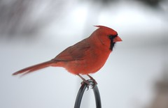 cardinal (MatthewAtkinson) Tags: winter bird cardinal