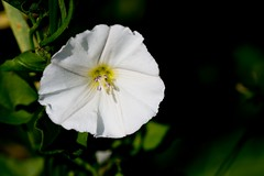 2016 White Wildflower (DrLensCap) Tags: white wildflower weber spur trail labagh woods chicago illinois abandoned union pacific railroad right way wild flower il rails to trails cook county forest preserve district preserves robert kramer