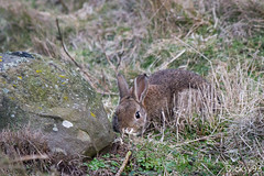 Cache-cache lapin (Dicksy93) Tags: img4143 lapin de garenne commun oryctolaguscuniculus rongeur mammifre animal nature faune rabbit bunny oreille poil fourrure rocher stone wildlife billebaude extrieur outdoor cap frhel ctes darmor 22 bretagne brittany breizh bzh france europe dicksy93 canon eos 7d ef 100400mm