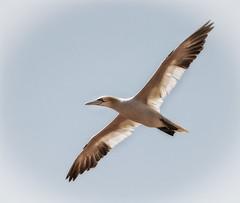 Basstlpel (Hyloo) Tags: insel nordsee vogel helgoland tlpel morusbassanus basstlpel langeanna seevgel hochseeinsel