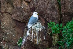 sulker (pamelaadam) Tags: bird digital visions scotland spring aberdeenshire meetup seagull may fotolog 2015 thebiggestgroup bullarsofbuchan